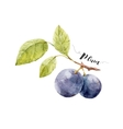 Watercolor hand drawn plum vector image vector image