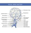 Human facial vein in vector image vector image