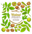 walnut plant elements on white background vector image vector image