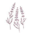 botanical drawing of lavender flowers and leaves