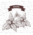 basil herb and spice label engraving vector image vector image