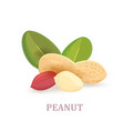 group of peanuts with leaves on white background vector image