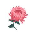 beautiful pink blossom japanese chrysanthemum vector image vector image