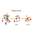 digestion protein enzymes proteases and vector image vector image