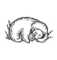 sleeping bear engraving vector image vector image