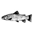 brook trout fish vector image