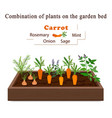 Growing vegetables and plants on one bed carrots