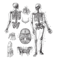 Human skeleton vintage engraving vector image
