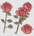 rose engraved vintage vector image