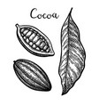ink sketch of cocoa vector image vector image