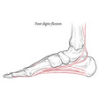 medical foot digits flexion muscles acting on vector image vector image
