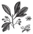 Sassafras vintage engraving vector image vector image