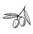 olives in engraving style design element vector image
