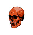 realistic red skull for designer on vector image vector image