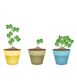 Fresh Green Coriander in Terracotta Flower Pots vector image vector image
