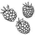 set raspberry in engraving style design vector image