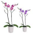 Two elegant purple flowers in pots isolated vector image
