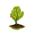 young tree with red ripe apples and green leaves vector image