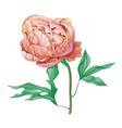 beautiful pink peony flower isolated on white vector image vector image