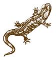 engraving salamander vector image vector image