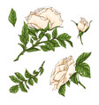 set of white rose flower bud and leaves isolated vector image