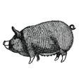 berkshire pig hand drawn vector image