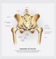 human anatomy of the hip vector image