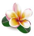 frangipani vector image vector image
