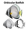 orbicular batfish in three sketches vector image
