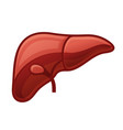 human liver on white background vector image