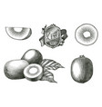 antique engraving kiwi fruit collection hand vector image