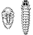 larva and worm meligethes aeneus vector image