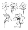 set of flowers narcissus vector image vector image