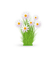 fresh white chamomiles on green grass - spring and vector image vector image