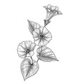 hand drawn bindweed flower with leaves vector image vector image