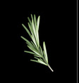 rosemary herb and spice on a black background vector image