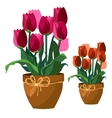 Pink and red tulips in clay pot flowers isolated vector image