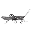 Meadow grasshopper sketch vector image vector image