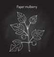 paper mulberry broussonetia papyrifera medicinal vector image