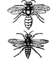 insect philanthus triangulum vector image
