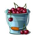 steel bucket full of ripe cherries isolated vector image