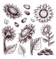 sketch sunflowers monochrome floral wildflower vector image