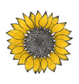 colorful yellow sketch of sunflower blossom vector image vector image