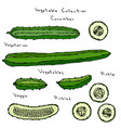cucumber set long english vector image