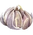 watercolor drawing garlic vector image vector image