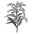 Canada goldenrod Sketch vector image vector image