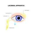 Lacrimal Apparatus vector image vector image