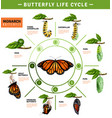 butterfly life cycle infographics vector image vector image
