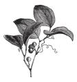 Vintage Greenbriar Sketch vector image vector image