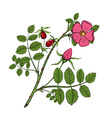 rosehips Stock vector image vector image